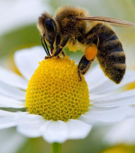 une-abeille-butine-une-fleur_45112_w620