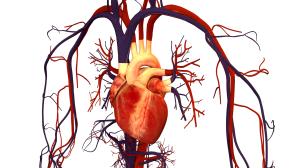 Human_Heart_and_Circulatory_System